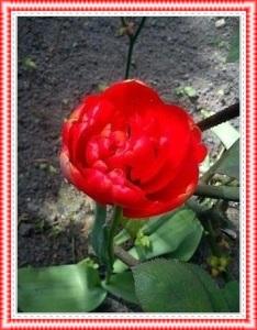 Tulpen11