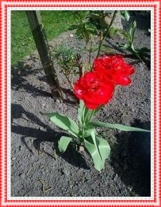 Tulpen13