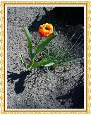 Tulpen19