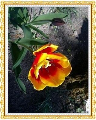 Tulpen21