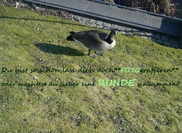 FLUG--WILDgänseZwieGeflüsterGESPRÄCH((e))2