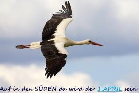Kattohaikara 9438 (Ciconia ciconia) White Stork Estonia May 2005