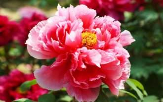 PFINGST--ROSE7