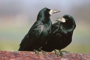 Rook (Corvus frugilegus) pair sitting on fence, Europe